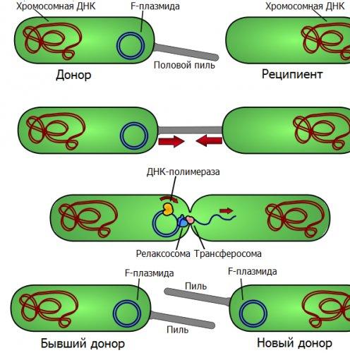 Конъюгация у бактерий —