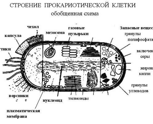 бактериальная клетка?