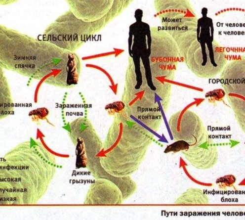 ДНК обеих бактерий содержат